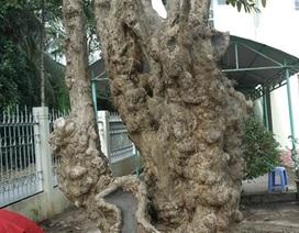 Công nhận 10 cây, cụm cây di tích lịch sử, văn hóa