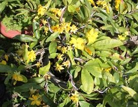 """Bến Tre: Thời tiết """"đỏng đảnh"""" khiến dân trồng hoa cảnh phập phồng lo mất Tết"""