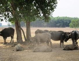 Dự án công viên triệu đô thành nơi chăn thả trâu bò