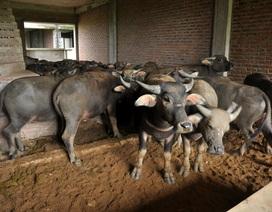 Kiếm trăm triệu nhờ nuôi trâu, thả bò… trong khu biệt thự bỏ hoang