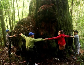 """Kỳ bí """"vương quốc"""" pơmu với những """"cụ"""" cây gần... 2.000 năm tuổi"""