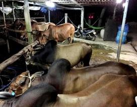 Bắt quả tang cơ sở bơm nước vào cả chục con bò trước khi giết mổ
