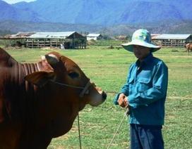 """Tiềm năng từ giống bò """"thuần cỏ"""" Long Hội"""