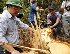 Quảng Nam sẽ họp với Lào về vụ phá rừng pơmu