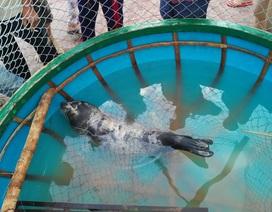 Hải cẩu nặng gần nửa tạ mắc lưới ở vùng biển Quảng Nam