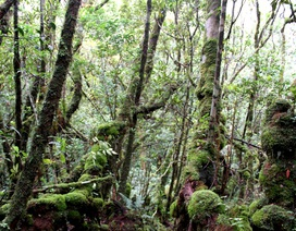Phát hiện rừng đỗ quyên ngàn năm tuổi trên dãy Trường Sơn