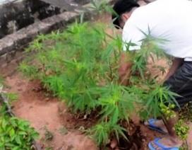 Phát hiện đối tượng trồng hàng chục cây cần sa trong vườn