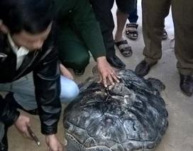 Thả rùa xanh quý hiếm có khắc chữ Hán trên mai về biển