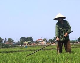 Gác chuyện du Xuân, nông dân đồng loạt ra đồng chăm sóc lúa