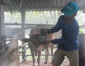 Quảng Trị: Bùng phát dịch bệnh lở mồm long móng trên gia súc