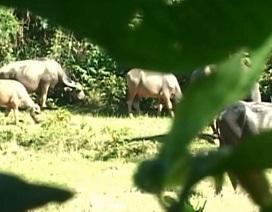 Thuê 4 thợ săn đặt bẫy bắt sống đàn trâu hoang hung dữ