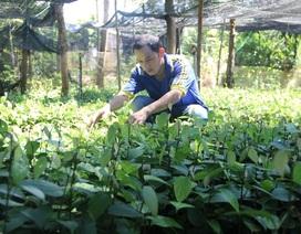 Cử nhân đại học về quê nuôi chồn, trồng tiêu, thu nhập trăm triệu