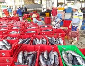 Ngư dân trúng đậm cá ngừ sọc dưa trên biển Trường Sa