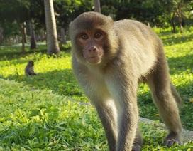 Đầu xuân Bính Thân, cùng ngắm đàn khỉ đông nhất ở miền Trung
