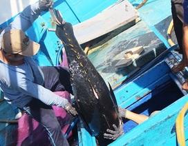 """Hình ảnh cá ngừ đại dương hơn nửa tạ """"ngập"""" khoang tàu ngư dân"""