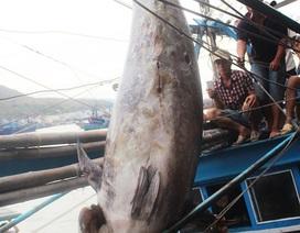 """Đăng ký xác lập Kỷ lục cho cá ngừ vây xanh """"khủng"""" bị mua giá """"bèo"""""""
