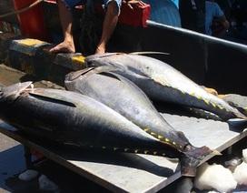 """Cá ngừ đại dương ở Hoàng Sa, Trường Sa… liên tiếp bị """"ép giá"""""""