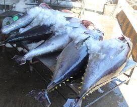 """Cá ngừ đại dương bị """"ép giá"""" vì chất lượng thấp quá!"""