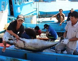 """Lao động biển """"méo mặt"""" vì mất mùa cá ngừ đại dương"""