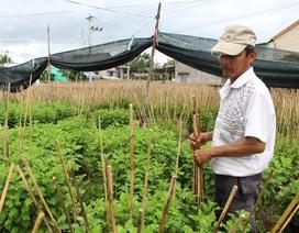 Kiếm hơn 100 triệu đồng nhờ trồng hoa cúc dịp Tết