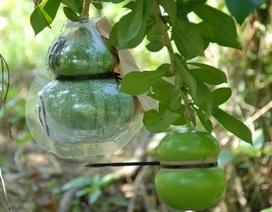 """Quà Tết """"siêu độc"""": Hơn nửa triệu đồng một trái đào tiên hồ lô"""