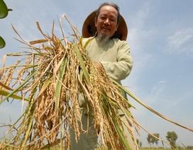 Độc đáo giống lúa mùa nổi cao 7 mét của nông dân miền Tây