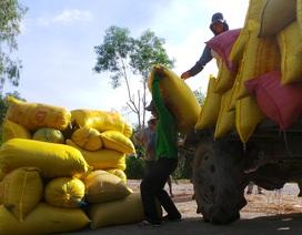 Nông dân đón Tết vui vì lúa tăng giá