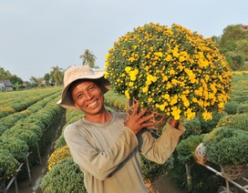 Trồng hoa cúc mâm xôi lãi gấp 10 lần trồng lúa