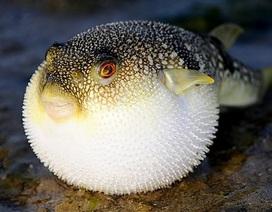 Ăn 10 gam thịt cá nóc cũng có thể ngộ độc dẫn đến chết người