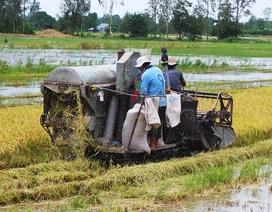 Thu hoạch vụ hè thu: Nông dân, chủ máy gặt thất thu vì mưa dầm