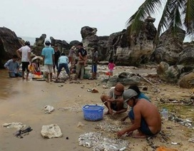 Lạ lùng hàng ngàn con hải sâm dạt vào bờ biển Phú Quốc