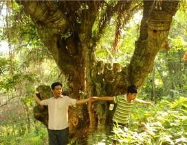 Rừng thiên tuế cổ thụ khổng lồ, cây 4 người ôm không xuể