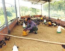 Tỷ phú cam sành ngậm ngùi bỏ cam chuyển sang trồng mía, nuôi gà