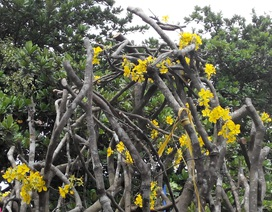 Độc, lạ cây mai 50 tuổi hoa mọc thẳng từ... thân