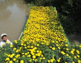 Sông nước miền Tây… vàng rực sắc Xuân