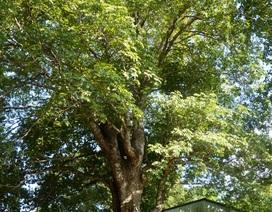 Cây trôm 100 tuổi được công nhận là cây di sản Việt Nam