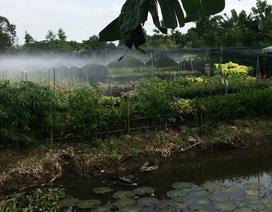 Mưa nhiều, hàng trăm ha lúa gieo sạ lại, cả ngàn giỏ hoa chết