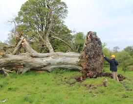 Hài cốt 1000 năm tuổi dưới gốc cây cổ thụ