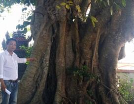 Cây đa cổ thụ được công nhận cây di tích văn hóa Việt Nam