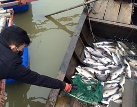 Cá chết rét trắng bè, hàng chục nông dân mất tết