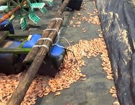 Vụ cá chết hàng loạt tại biển Vũng Áng: Người nuôi tôm cũng khóc ròng