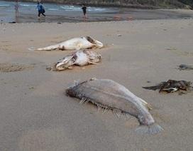 Cá chết rải đầy bờ biển, dân nghi bị nhiễm chất độc