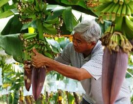 Lão nông đầu tư hơn 40 tỷ đồng để trồng chuối xuất ngoại