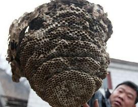 """Tìm thấy tổ ong """"khủng"""" 11 tầng"""