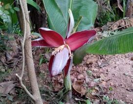 Lạ lùng cây chuối tí hon trổ hoa ở Quảng Trị