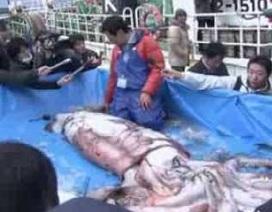 Lại bắt được mực khổng lồ cân nặng 1 tạ trên biển Nhật Bản
