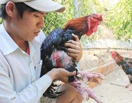 Cử nhân xây dựng thu tiền trăm triệu từ gà hiếm, chim quý