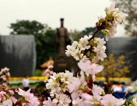 Hoa anh đào Nhật nở rộ, đẹp rực rỡ giữa tiết xuân Hà Nội
