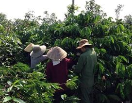"""Mùa mưa kéo dài, người trồng cà phê """"đứng ngồi không yên"""""""