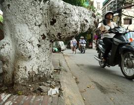 Hà Nội: Những mấu cây kỳ dị nguy hiểm trên đường Đội Cấn